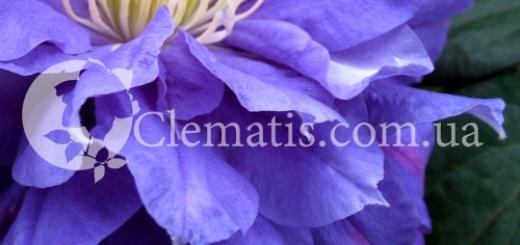 CLEMATIS2