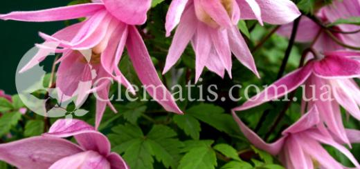 Markhams Pink