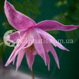 Markhams Pink2