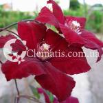Rouge Cardinal 2007 4