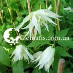 albina plena