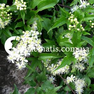 ligusticifolia
