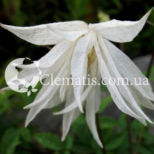 Группы обрезки клематисов  Садовые цветы и растения
